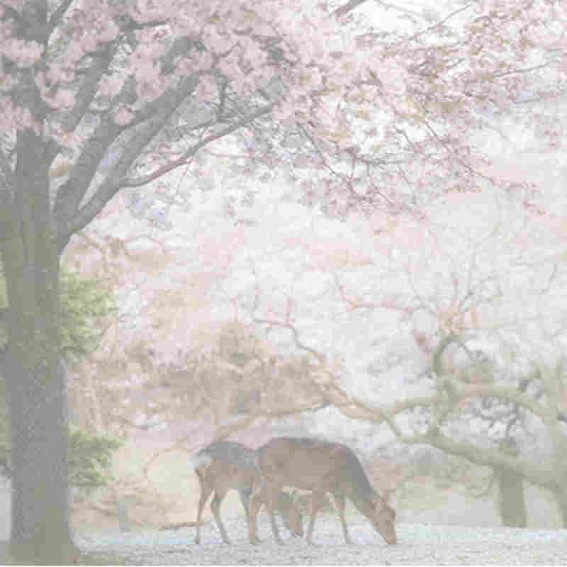 taifune, weil japan \ 's berühmten kirschblüten blühen früher